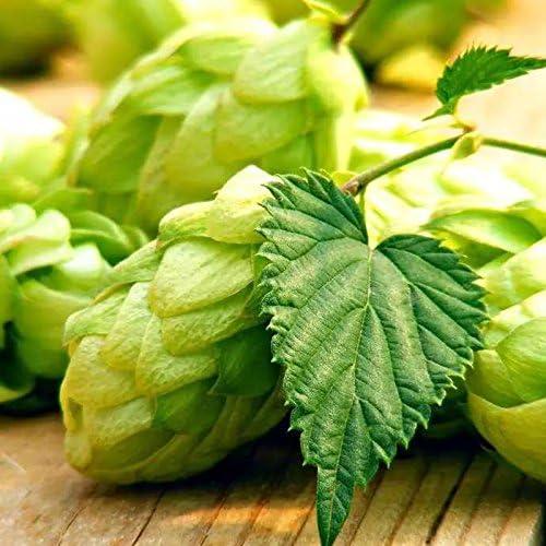 EgBert 100Pc//Spack Semi di Luppolo Humulus Lupulus Brewing Birra Pianta Tea Herb Brew Tedesco Magnum