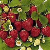 25 Seeds Fragissimo Vanilla Strawberry