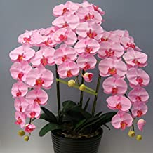 Pink Phalaenopsis Seeds Potted Indoor Flowers Bonsai Four Seasons Orchid Seeds
