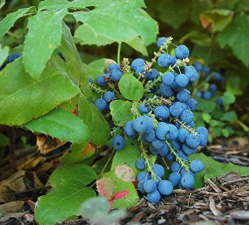 Mahonia Repens Creeping Oregon Grape Choose 3, 6 or 10 Plants! - Uva Oregon