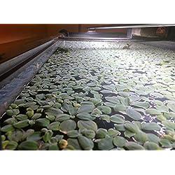 10+ SURFACE / FLOATING Live Aquarium (Pond) Plants - Dwarf Water Lettuce