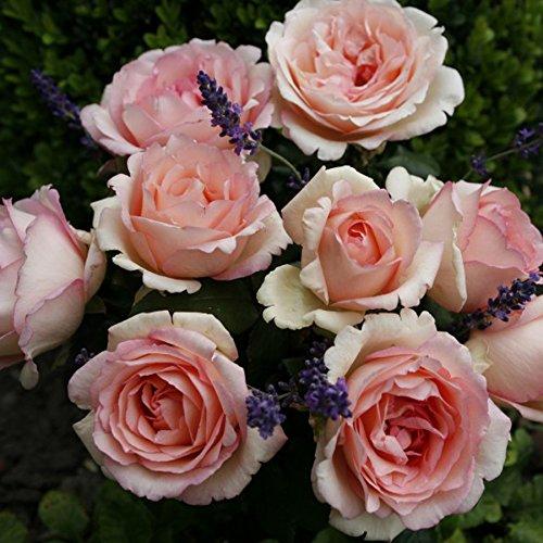 Pink Enchantment Rose Bush - Fragrant Pink Hybrid Tea Shrub Grown Organic Potted - Stargazer Perennials