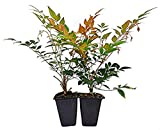 "9GreenBox - Nandina Domestica""Gulf Stream"" (Heavenly Bamboo) - 2 Pack"