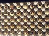 12 LARGE COTURNIX QUAIL HATCHING EGGS - HORMONE GMO FREE - HIGH HATCH RATE - FISHING PRODUCTS TEXAS
