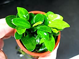 Anubias petite 25~35 leaves - Live aquaric plant fish tank(The plant pot excluded)**No pesticides**