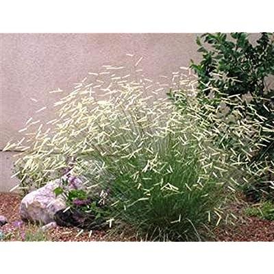 Portal Cool Ornamental Grass Seeds - Blonde Ambition - Bouteloua Gracilis - 20 Seeds : Garden & Outdoor