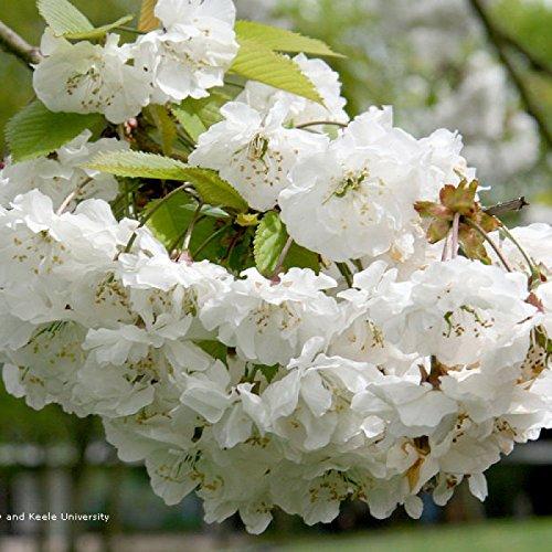 (New Sweet Cherry Prunus Avium 5+ Seeds)