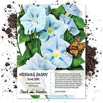 Amazon com : Rare Japan Takii White Blue Stripe Morning Glory