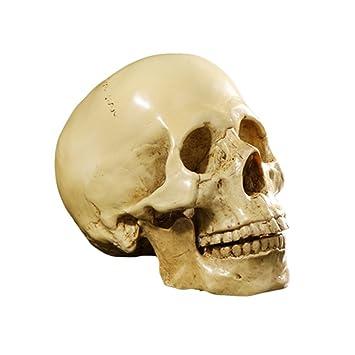 1: 1 Lebensgroß Menschlichen Schädel Totenschädel Figur Modell Für  Anatomischen Medizinischen Lehre Wohnzimmer Sammlung Dekor
