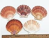 PEPPERLONELY 5 PC Large Great Scallop Sea Shells, Irish Flat Shells, 3 Inch ~ 4 Inch