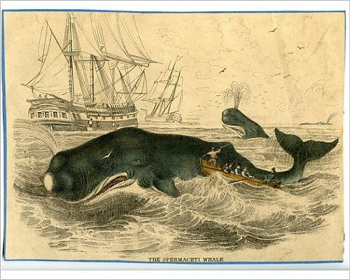 Sperm Whale Tooth - 10x8 Print of Physeter macrocephalus, sperm whale (14400785)