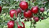 Semi Dwarf Red Delicious Live Tree Apple Plant #AD01