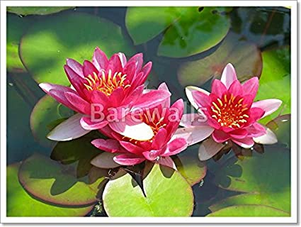 Amazon beautiful blooming red water lily lotus flower with beautiful blooming red water lily lotus flower with green leaves in the pond paper print wall mightylinksfo