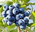 300+Super Sweet n Huge Blueberry Seeds! highbush Mix Perennial Fruit 145mg