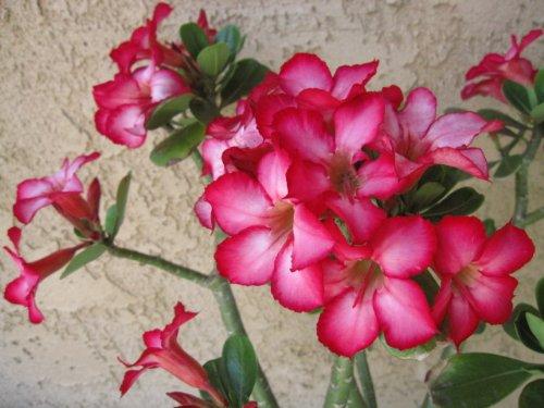 9GreenBox - Large Desert Rose - Fits in 12'' Pot