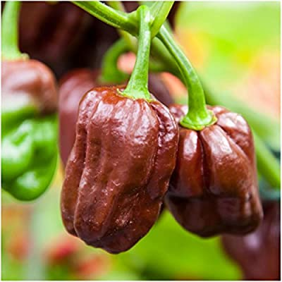 Package of 60 Seeds, Chocolate Habanero Pepper (Capsicum chinense) Non-GMO Seeds by Seed Needs