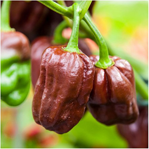 Jamaican Hot Chocolate - Package of 60 Seeds, Chocolate Habanero Pepper (Capsicum chinense) Non-GMO Seeds by Seed Needs
