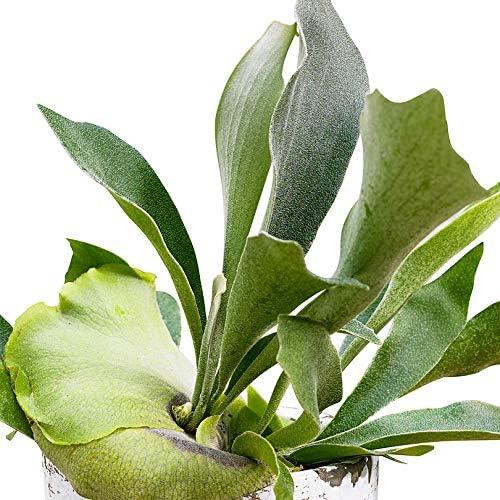 Platycerium bifurcatum Staghorn Fern Height 30-35 cm Pot-/Ø 12 cm