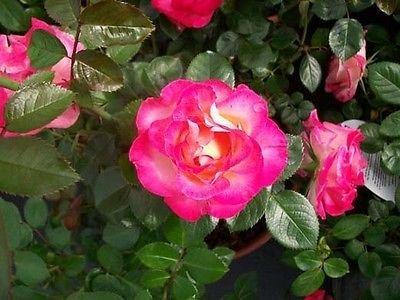 Dick Clark 2011 AARS WINNER Rose 1 Gal. Live Plant Disease Resistant Roses Now