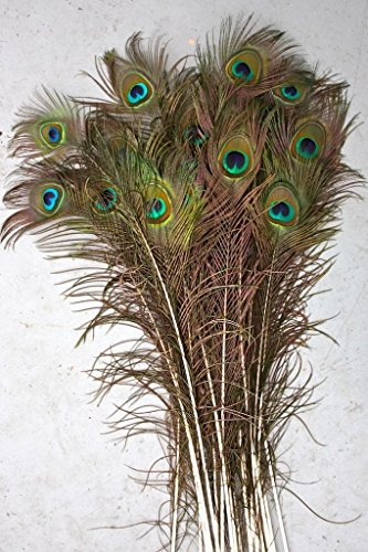Natural Peacock Feathers, Big Eyed, Long and Lush, 40-45