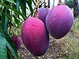 Rare seeds-Mangifera indica var. Dwarf Irwin Purple Mango - 1 fresh seed