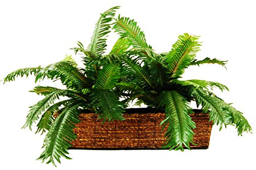 LCG Florals Sago Palm in a Ledge Basket, 18'