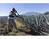 10x8 Print of Tequila is made from the blue agave plant in the state of Jalisco and mostly (13599997)