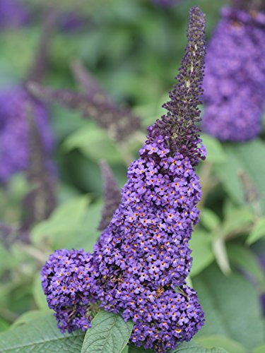 Pugster Blue Butterfly Bush (Buddleia) Live Shrub, Blue Flowers, 1 Gallon by Proven Winners (Image #1)