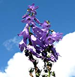 Lobelia Great Blue Wildflower for Butterflies and Bees bin215 (1250 Seeds, or .05 Gram)