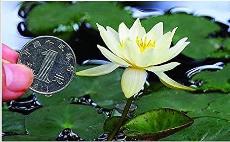Amazon Com Beautiful Aquatic Mini Lotus Flowers 10 Seeds Mixed