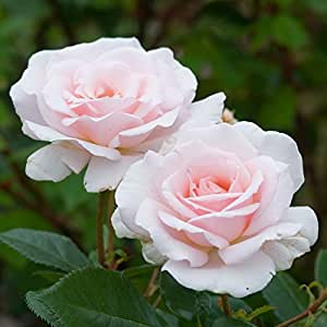 1 x 'Paul's Scarlet' Climbing Rose (Bare Root)