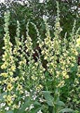 Verbascum (Mullein) chaixii Sixteen Candles 2,000 Seeds Need More? Ask