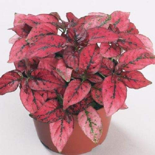 50 Hypoestes Seeds Hypoestes Confetti Red Seeds mb001