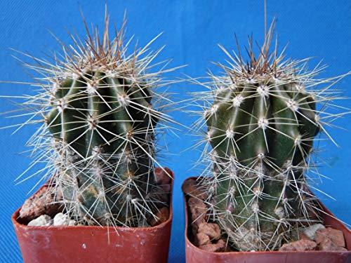 Saguaro Cactus Two (2!) Nice Spines Carnegiea gigantea 2