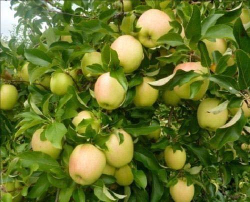 1 Golden Delicious Apple Tree 2-3 FT Flowering Fruit Live Plants Sale Today