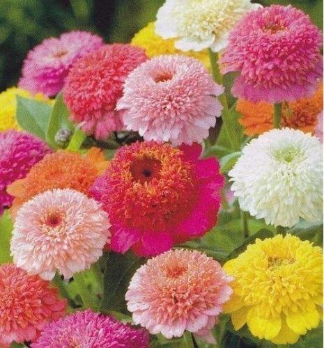 (Zinnia Scabiosa Flowered Mix 100 seeds * Unusual form* Cut Flower * )