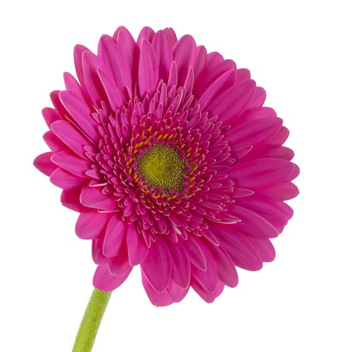 Wholesale Gerberas (150 Dark Pink) by eFlowy