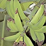 how to grow a little fruit tree - Plantain Plants