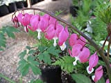 Lamprocapnos spectabilis at the Greenhouse: Bleeding heart