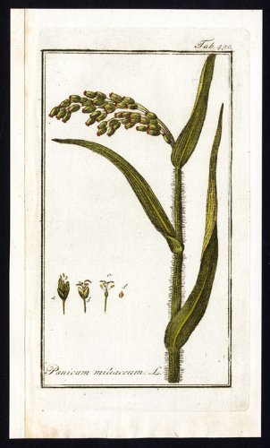 Old-fashioned Flora Print-PANICUM MILIACEUM- PROSO MILLET-BROOM CORN-HOG-Zorn-1796