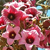 Brachychiton discolor PINK FLAME TREE, LACE BARK KURRAJONG Pink Blooms ~10 SEEDS~
