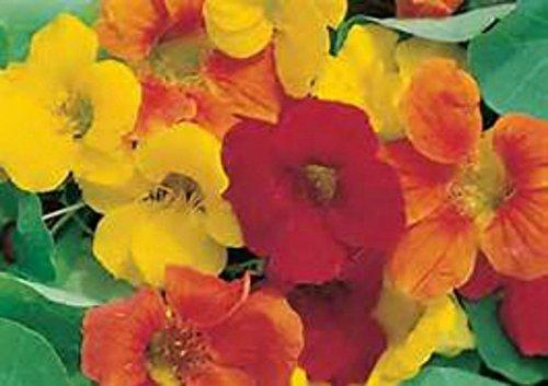 Nasturtium Dwarf Jewel Mix! YOU CAN EAT THE FLOWERS IN SALADS! - Jewel Nasturtium Dwarf