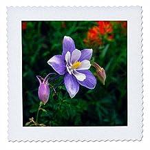 Danita Delimont - Flowers - USA, Colorado, Rocky Mountains, Yankee Boy Basin, Columbine flower. - 14x14 inch quilt square (qs_205833_5)