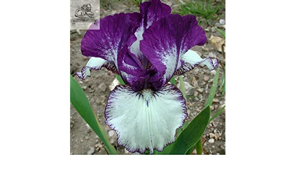 2 Iris Rare Heirloom Flower Bulbs Fragrant Plants Garden Stunning Beauty Bonsai