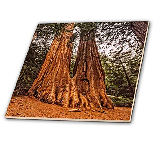 3dRose ct_200294_2 Conjoined Redwood Trees in Sequoia National Park-Ceramic Tile, 6-Inch