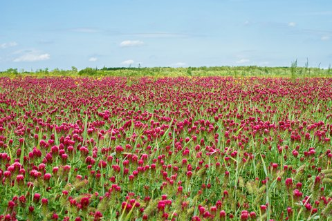 Food Plots Plant (1Lb Crimson Clover Seed Nitro Coated Inoculated Flowering Seeds for Wildlife Food Plots & Soil Erosion Control)