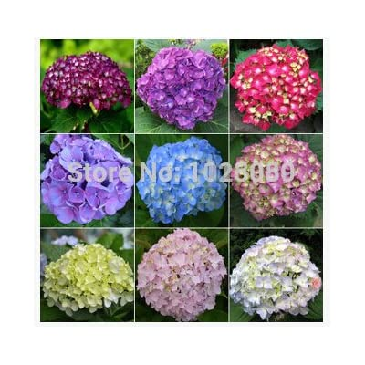 New Arrival 100pcs/pack hydrangea seeds, potted balcony, planting is simple, budding rate of 95%, radiation absorption, mixed colors - Arcis New : Garden & Outdoor