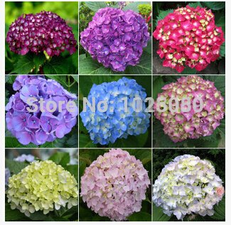 (New Arrival 100pcs/pack hydrangea seeds, potted balcony, planting is simple, budding rate of 95%, radiation absorption, mixed colors - Arcis New)