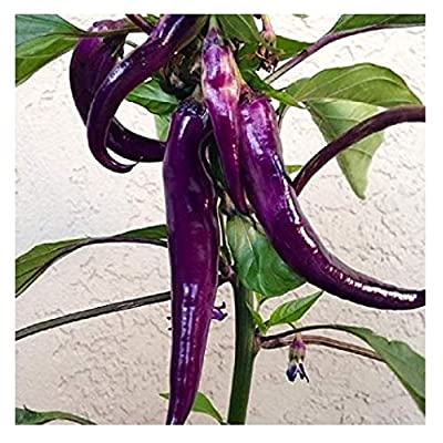 David's Garden Seeds Pepper Cayenne Purple SL1346 (Purple) 50 Non-GMO, Heirloom Seeds : Garden & Outdoor