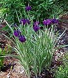 Variegated Japanese Iris Plant - AGM WINNER - Ensata - Gallon Pot